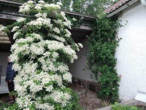 Hortensian blommar